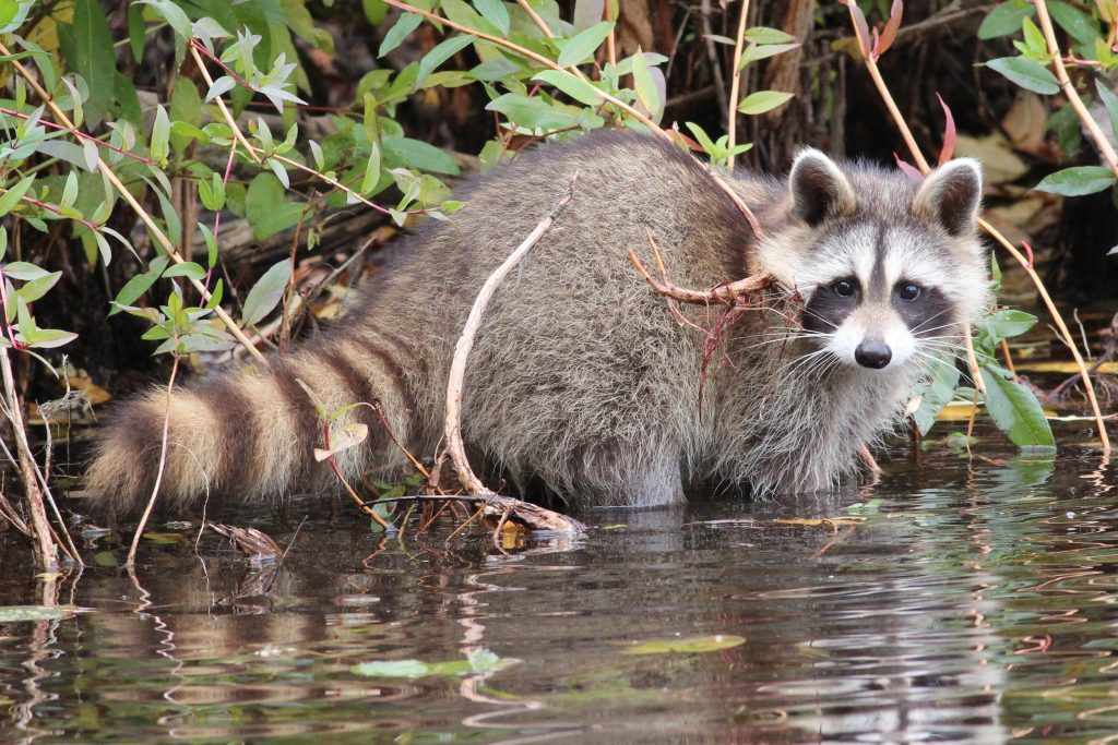 Picture of raccoon searching for food