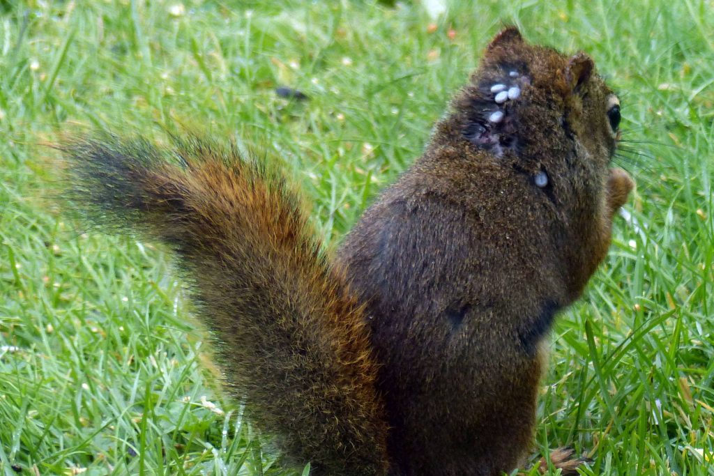 Photograph of a squirrel carrying Lyme disease