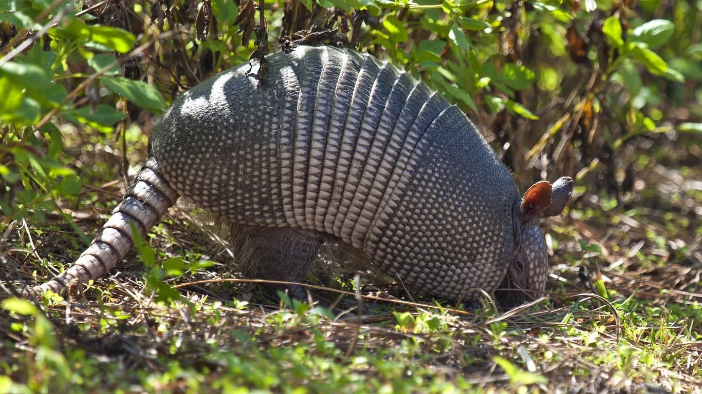 Photo of armadillo preparing to burrow into the dirt