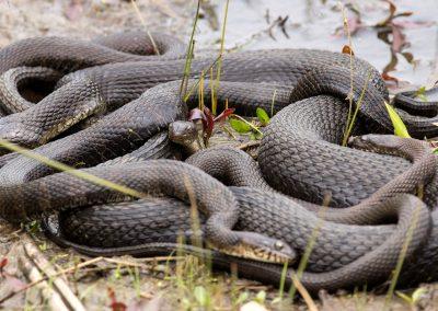 Orlando Snake Removal Company