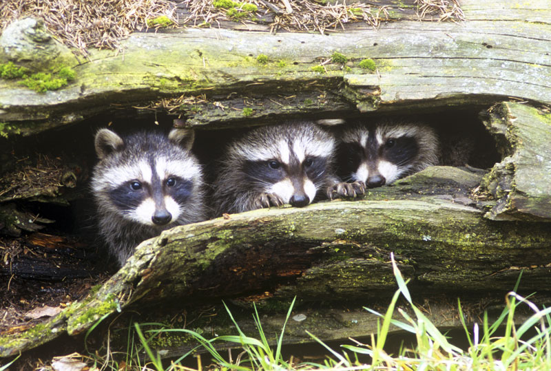 Photograph of raccoon family in their habitat