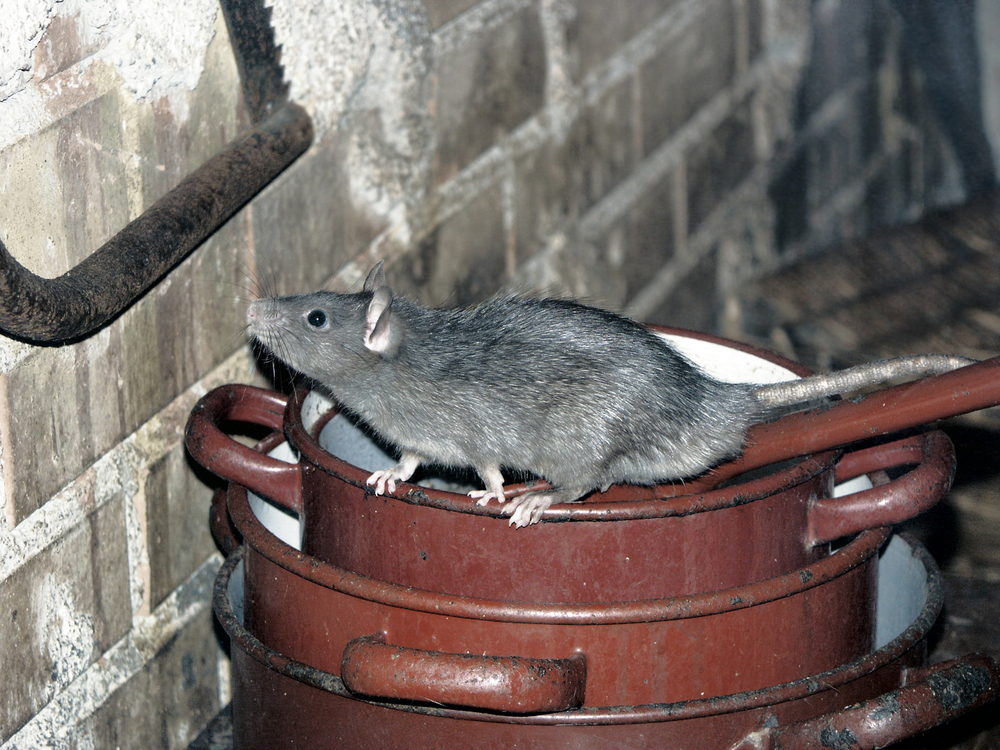 Photograph of a roof rat that has entered an attic
