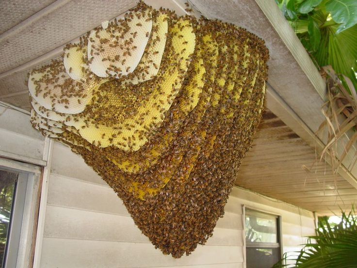 Photograph of a bee colony constructed on the outside of a home
