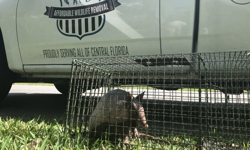 image of armadillo in a trap
