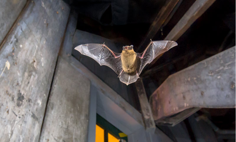 picture of bat flying in the attic