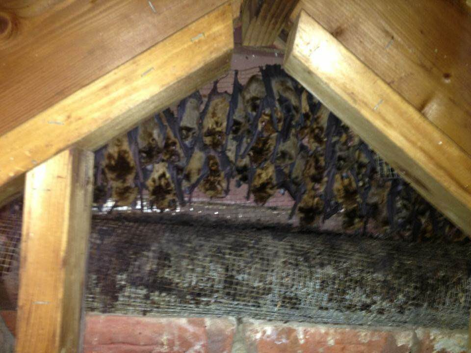 Photograph of bats that have a roost in an attic