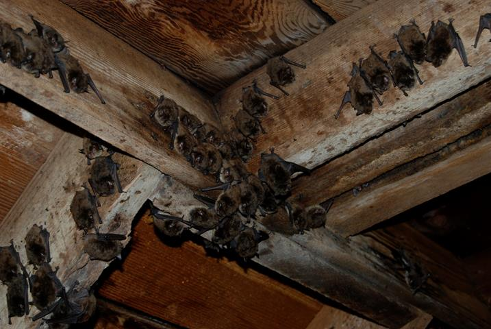 picture of bats that have entered an attic