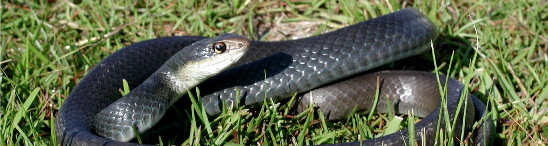 image of black racer non-venomous snake