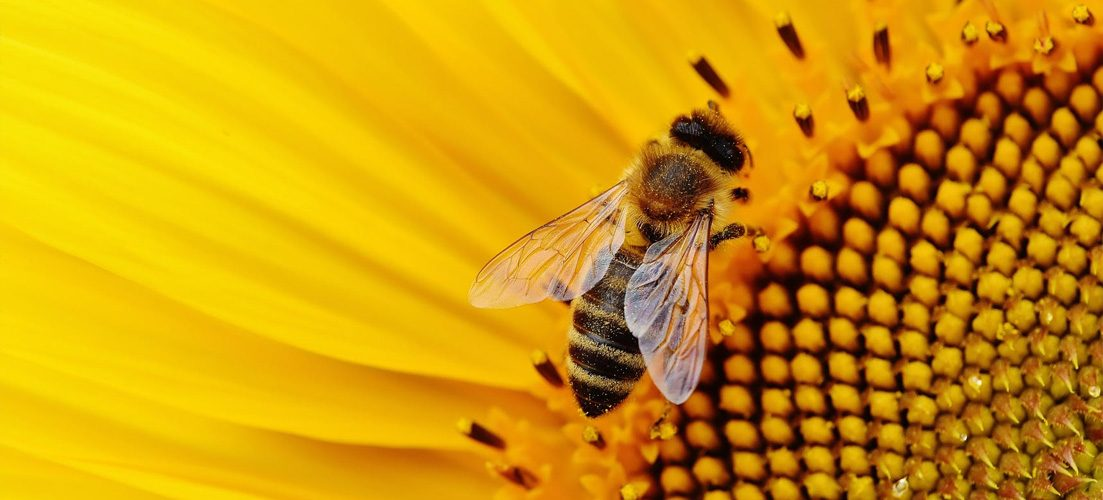 photo of a bee pollinating a sunflower