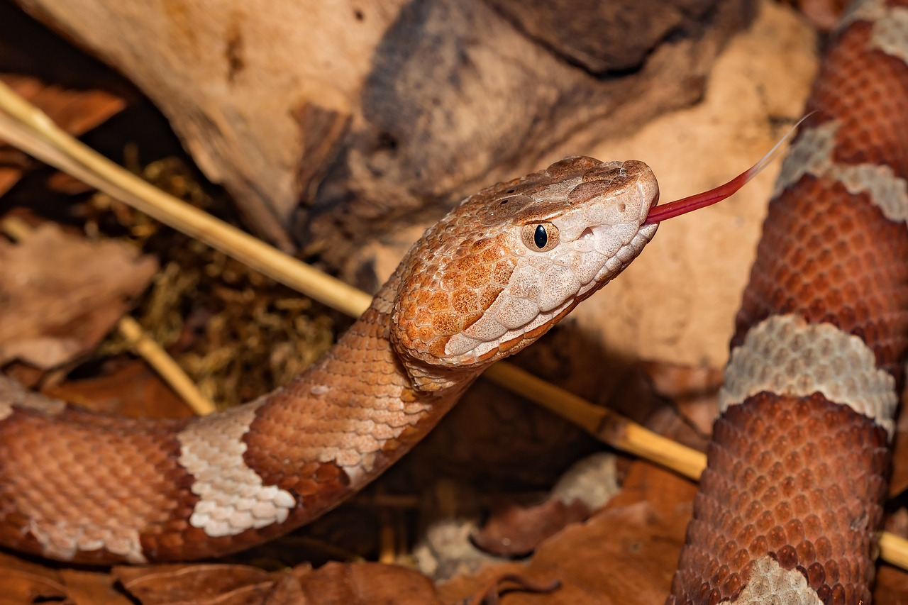 Photo of a florida copper head snake