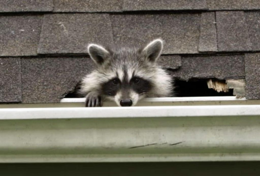 Image of a raccoon that has entered a home via broken shingles