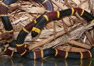 Photo of a venomous snake that bit a child in florida