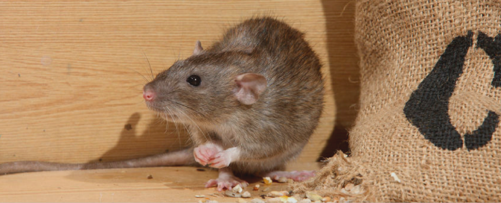 Image of roof rat that is feeding
