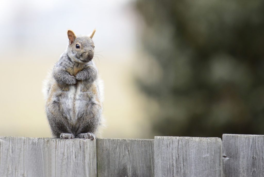 Photo of a squirrel in a back yard