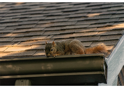 Image of a squirrel attempting to enter the attic taken by wildlife trappers