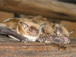 image of Groveland bats in the attic