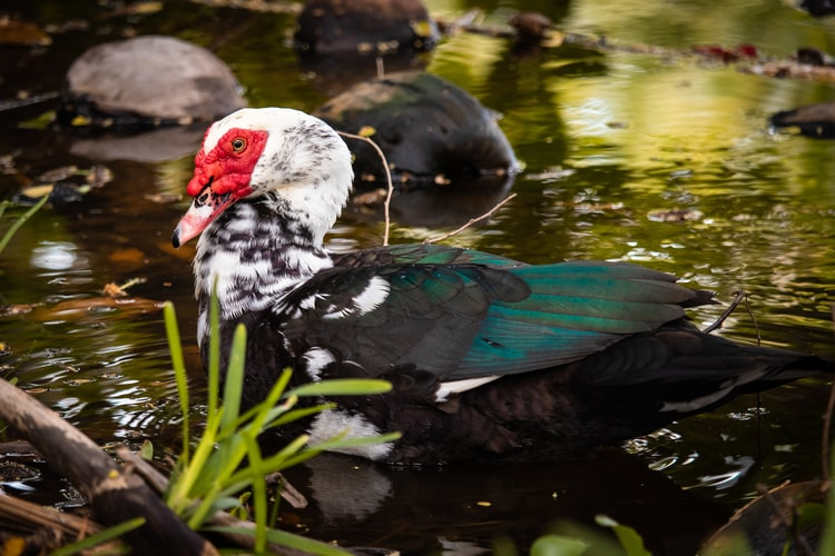 Photo of a muscovy duck walking near a pond