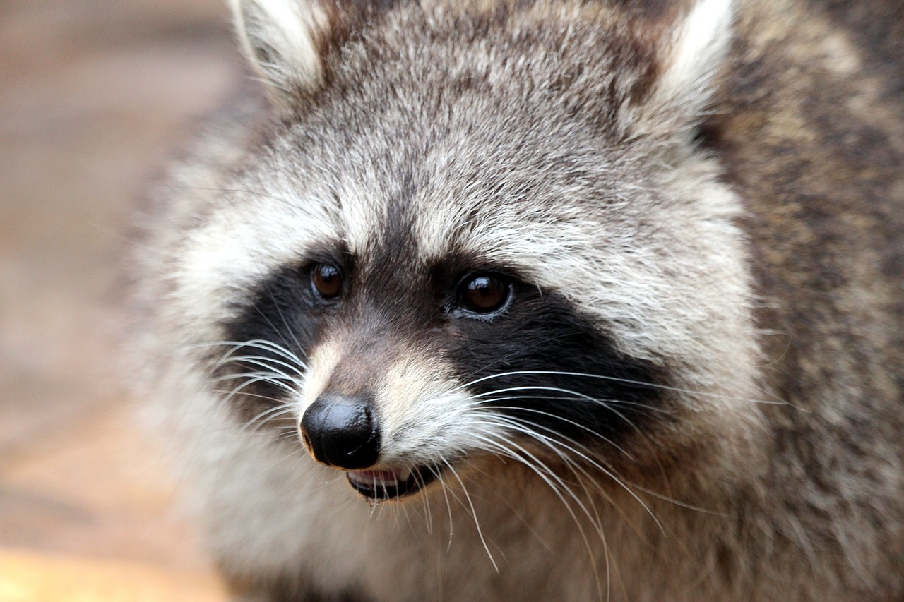 Photo of a racoon's face