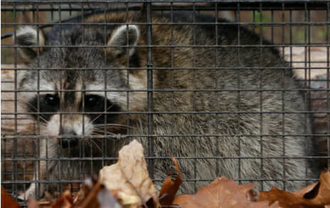 Photo of raccoon that has been trapped in a cage