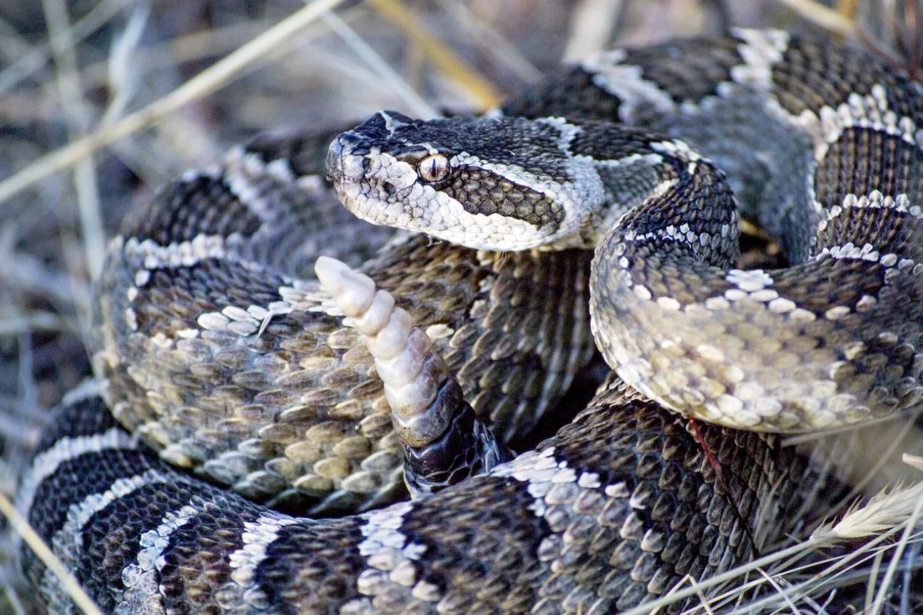 Picture of a rattle snake that can be found in florida