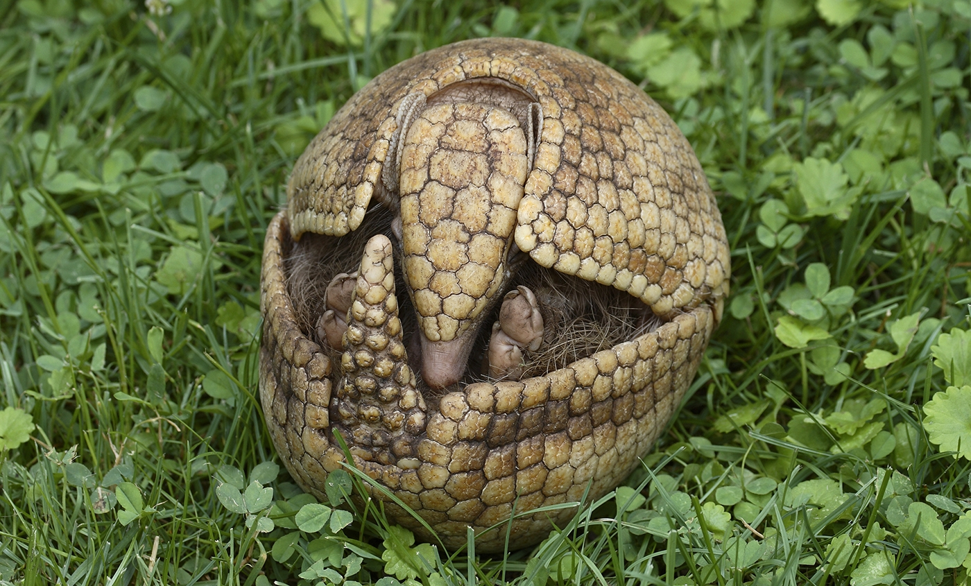 Photo of an armadillo in a protective position