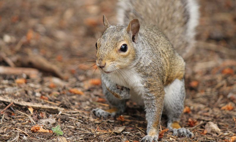 picture of nuisance squirrel