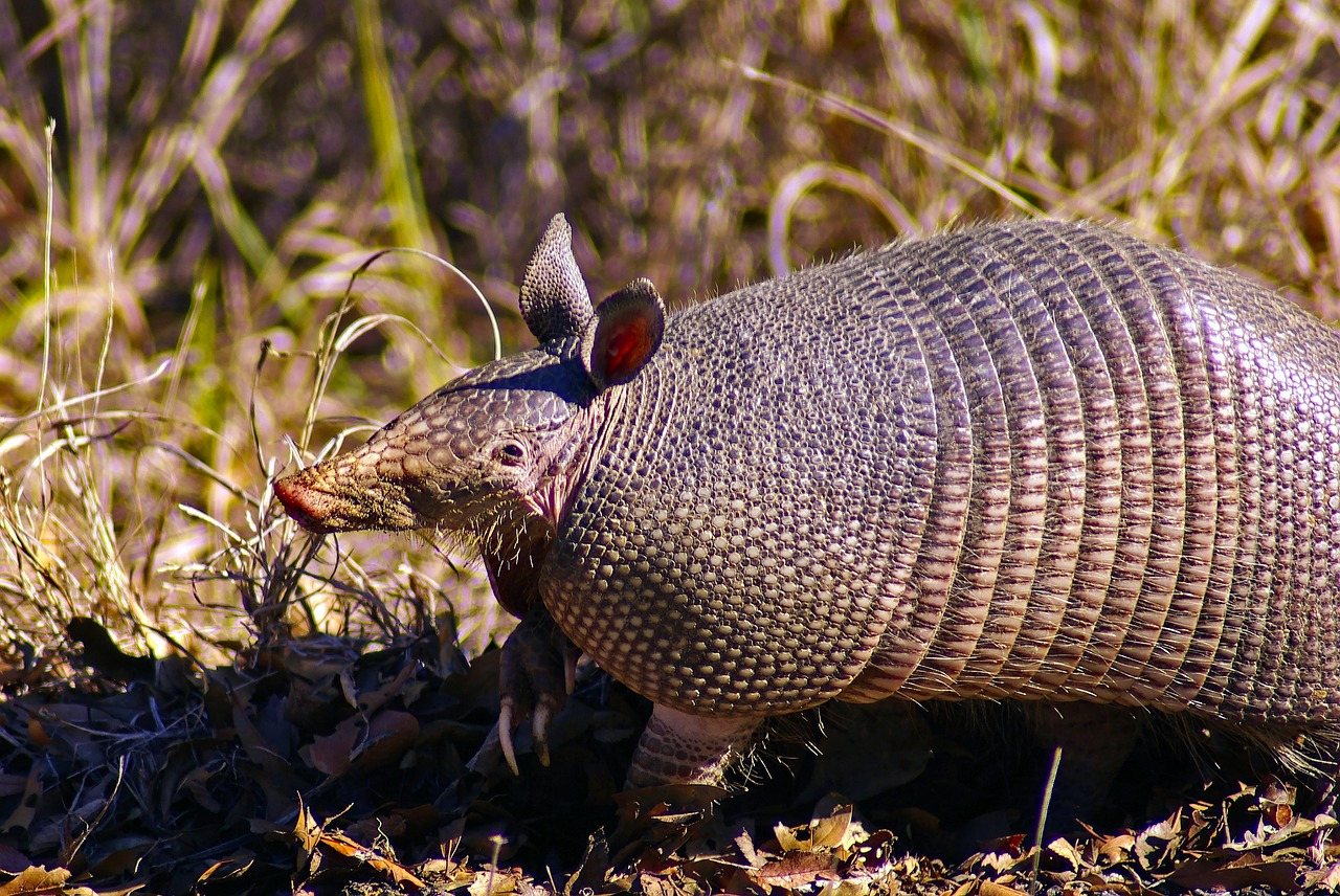 Photo of an armadillo that destroyed a local garden