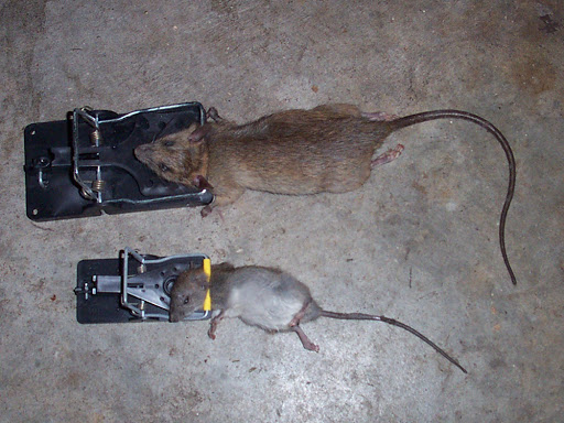 Picture of rats that have been caught in traps