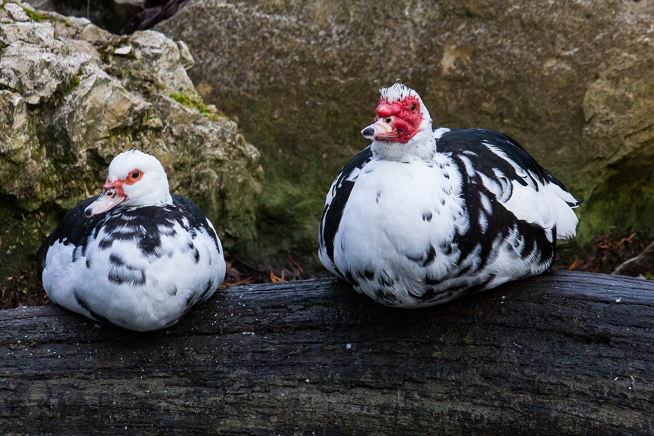 Picture showing two muscovy ducks in the wild