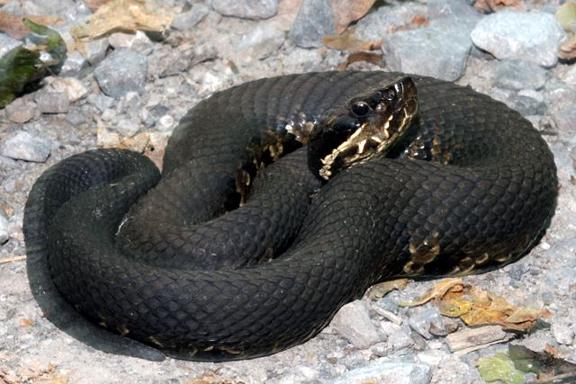 Image of a water snake found in florida