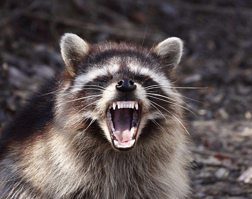 Pciutre of a raccoon carrying a disease called rabies