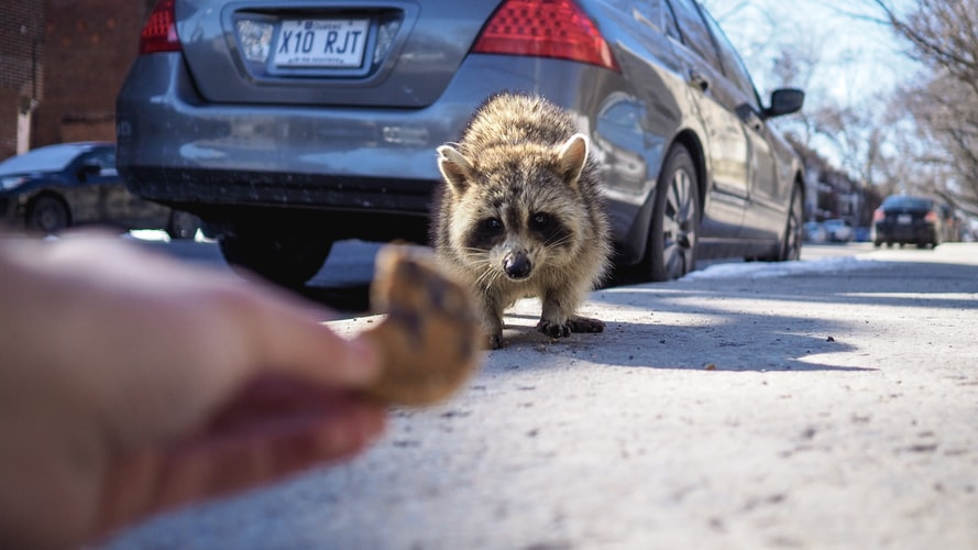 Photo of a human feeding a dangerous raccoon