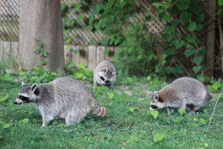 Image of raccoons damaging a lawn