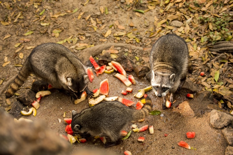 Image of raccoons being fed apples