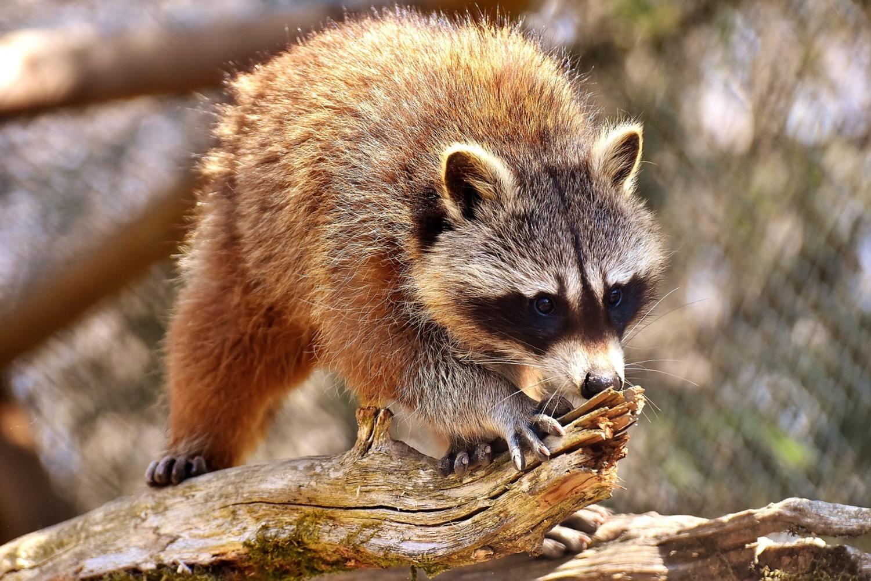 Photo of a wild raccoon in Orlando Florida