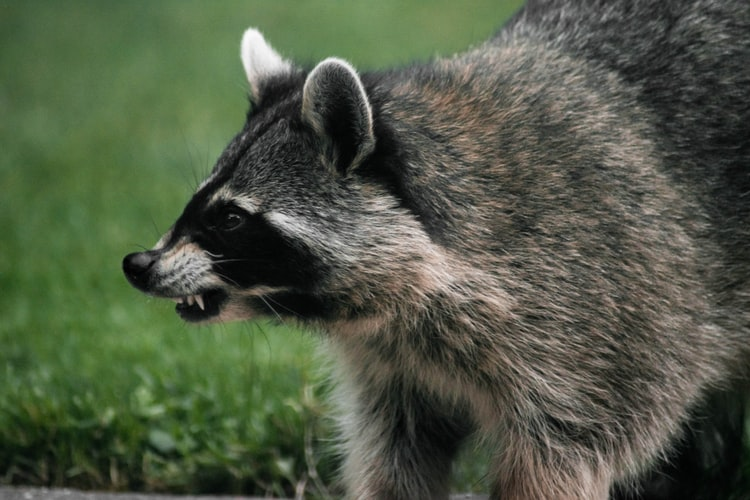 Image of a sick raccoon with infectious diseases