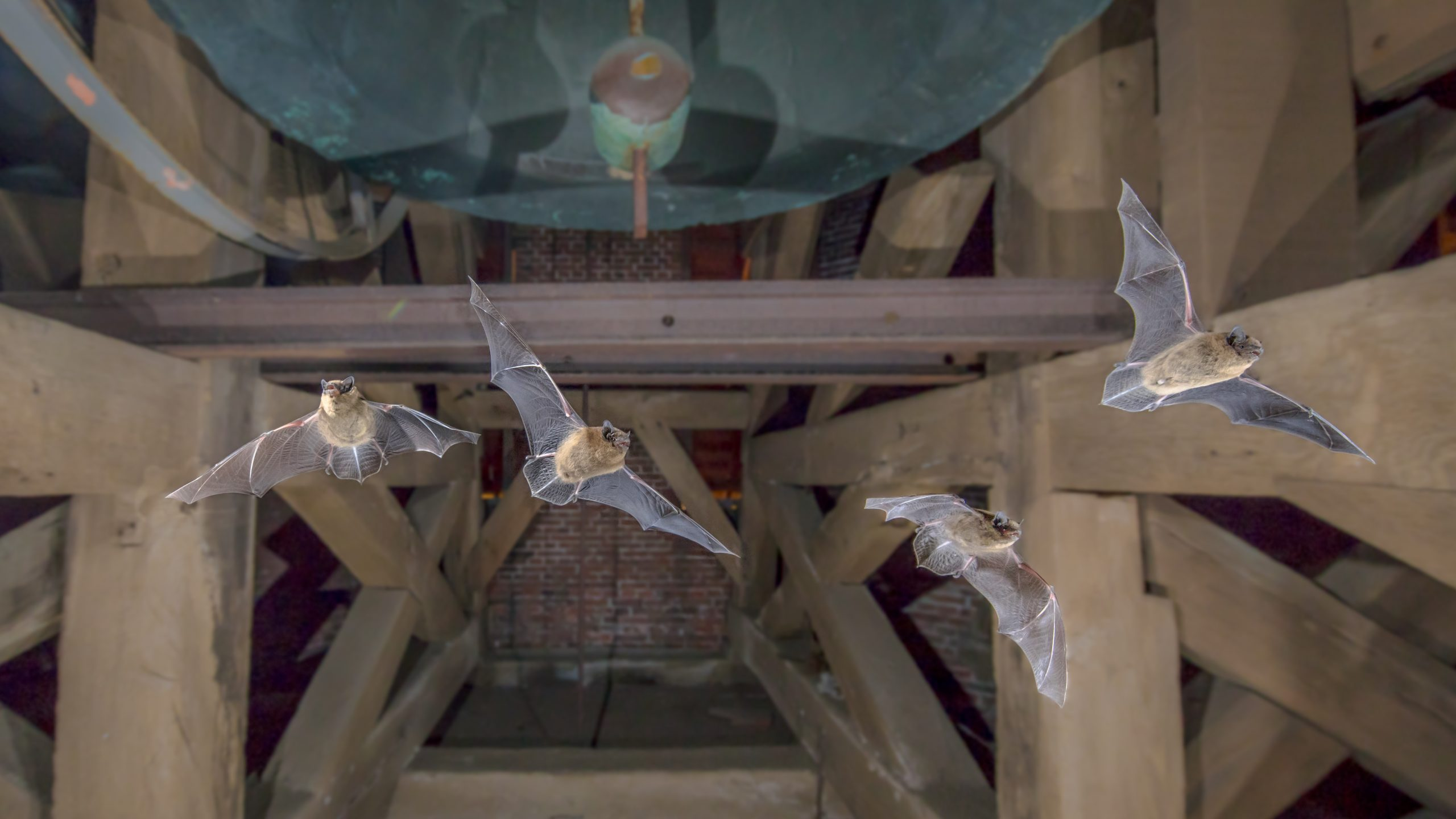 Image of four flying bats in orlando attic
