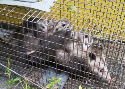 Opposum Removal Services