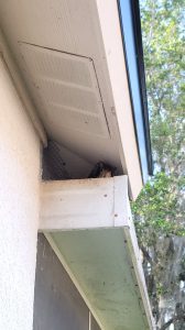 Squirrel in tampa residential home